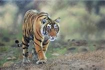 Tiger 03 - Mas'ud Dalhar