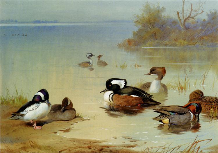 Buffel Headed Duck American Green Winged Teal And Hooded Merganser, 1922 - Archibald Thorburn