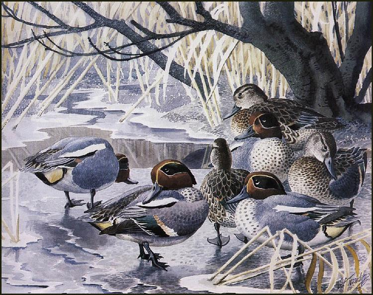 Teal - Charles Tunnicliffe