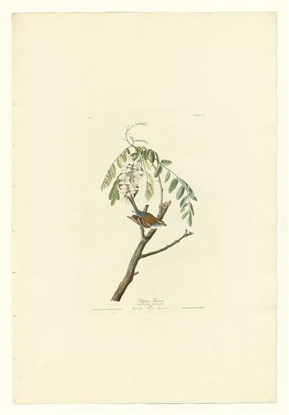 Plate 104 Chipping Sparrow - John James Audubon