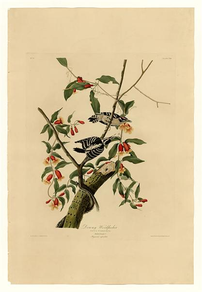 Plate 112 Downy Woodpecker - John James Audubon