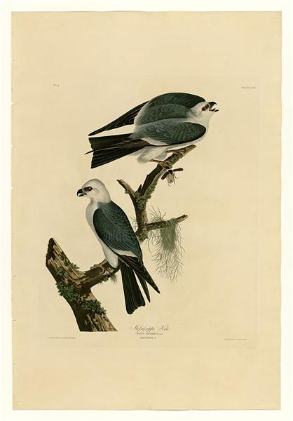 Plate 117 Mississippi Kite - John James Audubon