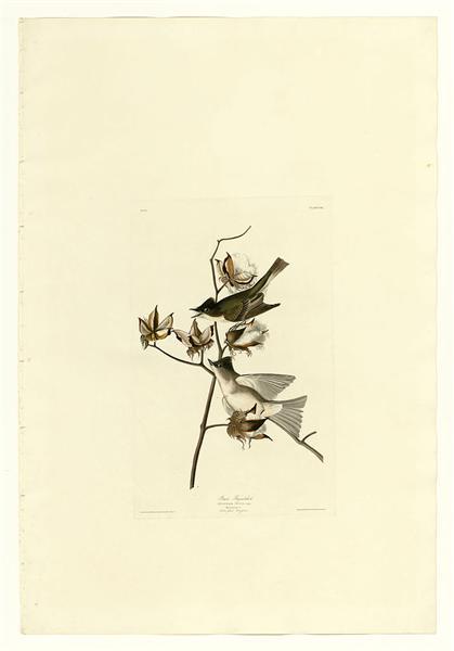 Plate 120 Pewit Flycatcher - John James Audubon