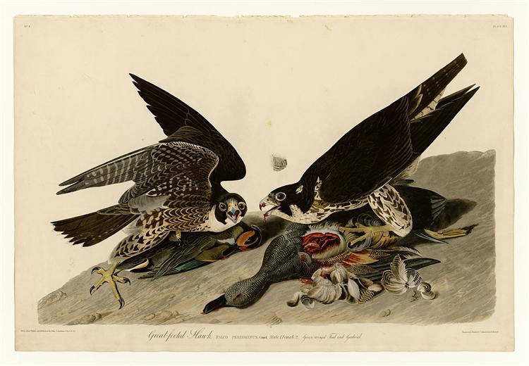 Plate 16. Great-footed Hawk - John James Audubon