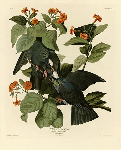 Plate 177 White-crowned Pigeon crop - John James Audubon