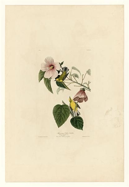 Plate 20. Blue-winged Yellow Warbler - John James Audubon