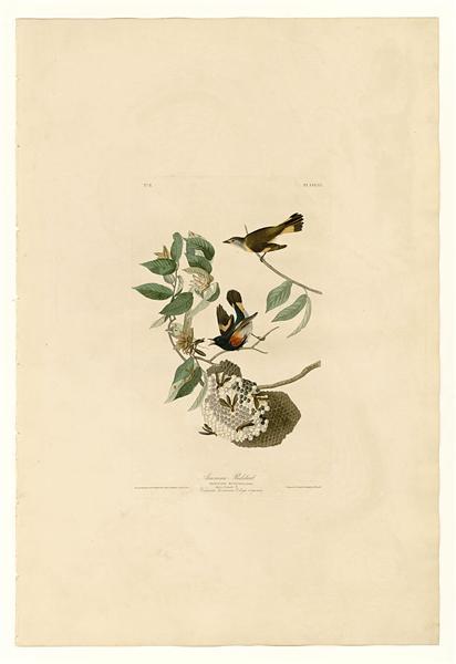 Plate 40. American Redstart - John James Audubon