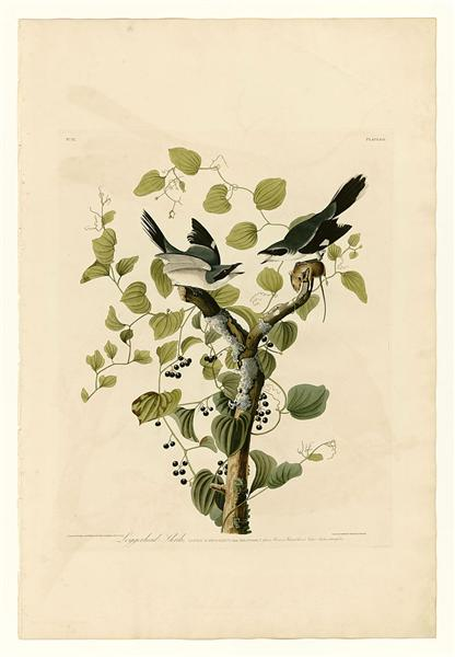 Plate 57. Loggerhead Shrike - John James Audubon