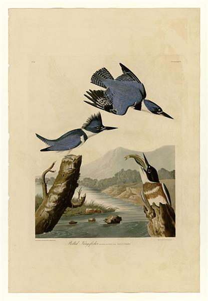 Plate 77 Belted Kingfisher - Jean-Jacques Audubon