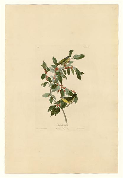 Plate 89 Nashville Warbler - John James Audubon