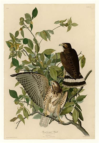 Plate 91 Broad-winged Hawk - John James Audubon