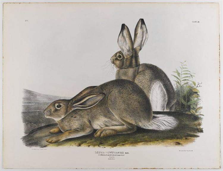 Townsend's Rocky Mountain Hare, 1842 - Джон Джеймс Одюбон