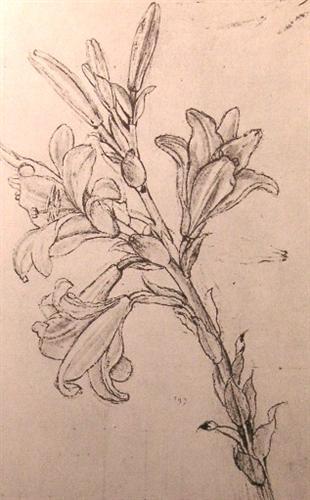 Drawing of lilies, for an Annunciation - Leonardo da Vinci