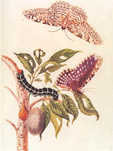 Metamorphosis of a Butterfly, 1705 - Maria Sibylla Merian