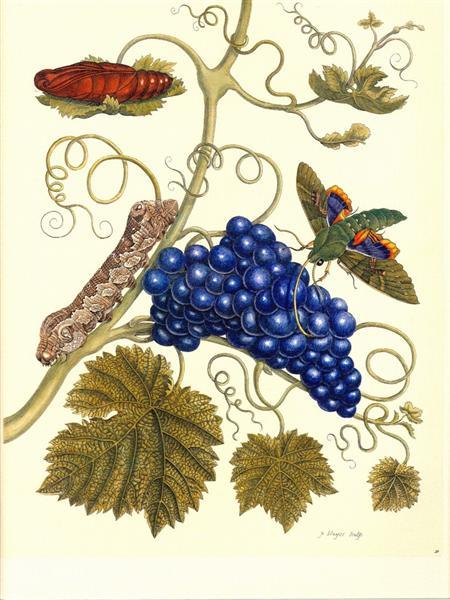 Plate of a moth (Eumorpha labruscae) that feeds on grape (Vitis vinifera) - Maria Sibylla Merian