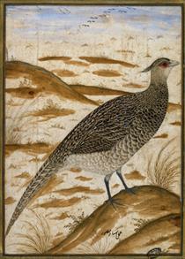 Himalayan cheer pheasant - Ustad Mansur